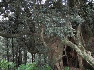 arbre shii